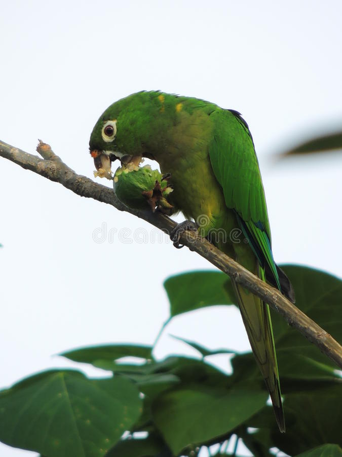 The parrot and the guava royalty free stock photography