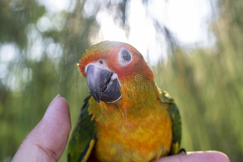 The parrot is happy on the finger in the pine tree. Parakeet on stock photo