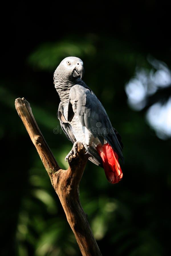 Parrot Jaco gray zit in een tak royalty-vrije stock afbeelding