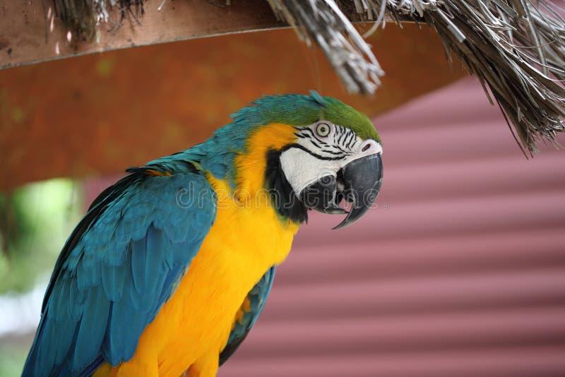Parrot at Jungle Island, Miami Beach, Florida. Portrait of colorful parrot at Jungle Island at Miami Beach, Florida royalty free stock photography