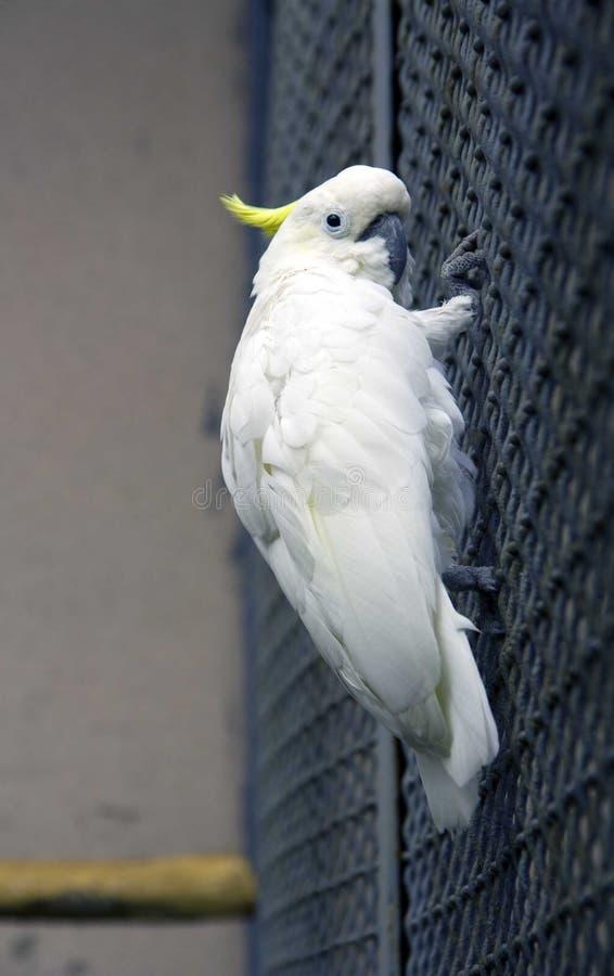 Parrot le plumage intelligent Solomon Islands d'oiseau de cacatoès de paille de touffe blanche de bec photos libres de droits