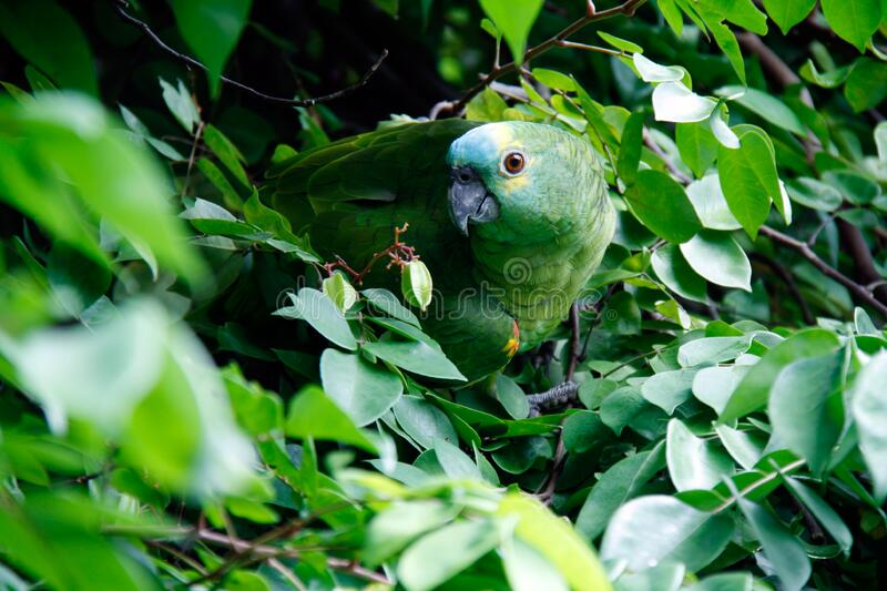 Parrot in leafage stock images