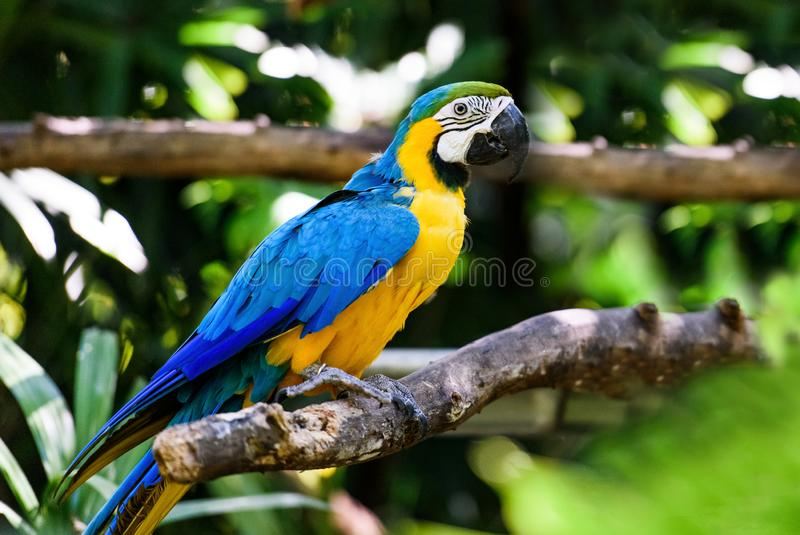 Parrot les arums dans la for?t tropicale verte, Costa Rica image stock