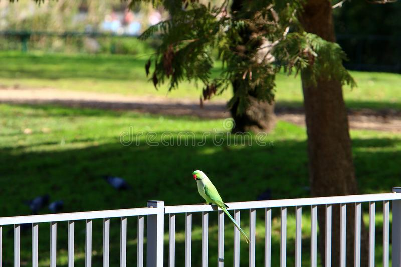 The parrot lives on a tree. Green parrot lives in a hollow on a tree stock photography