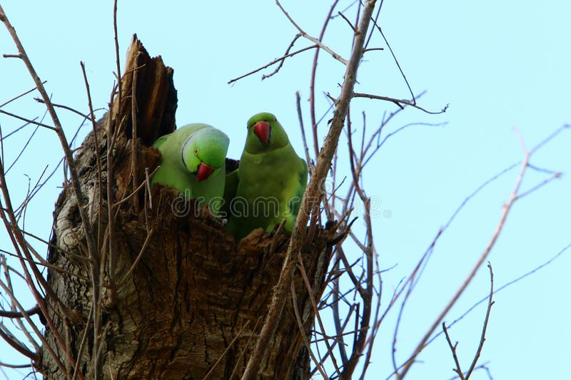 The parrot lives on a tree. Green parrot lives in a hollow on a tree royalty free stock images