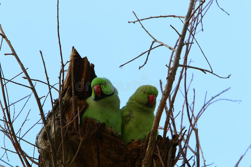 The parrot lives on a tree. Green parrot lives in a hollow on a tree royalty free stock photos