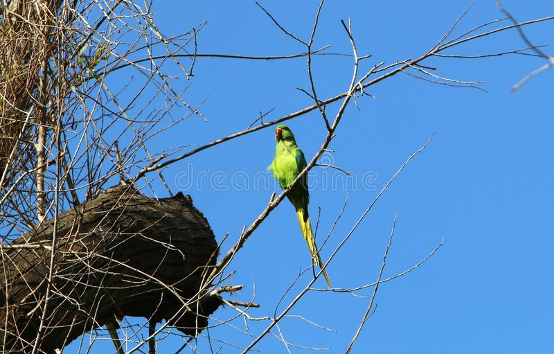 The parrot lives on a tree. Green parrot lives in a hollow on a tree royalty free stock photography