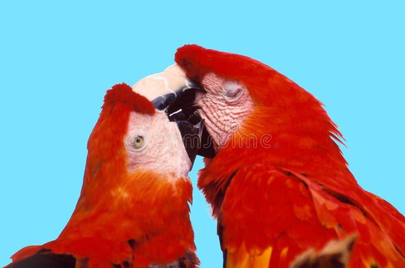 Parrot In Love stock image