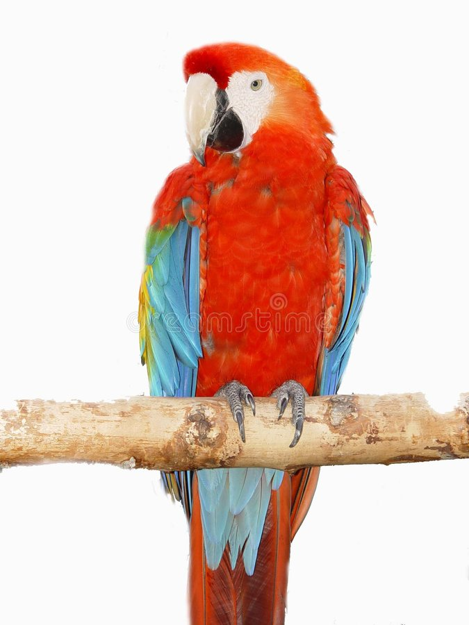 Download Parrot macaw stock photo. Image of tropical, tropics, white - 27594