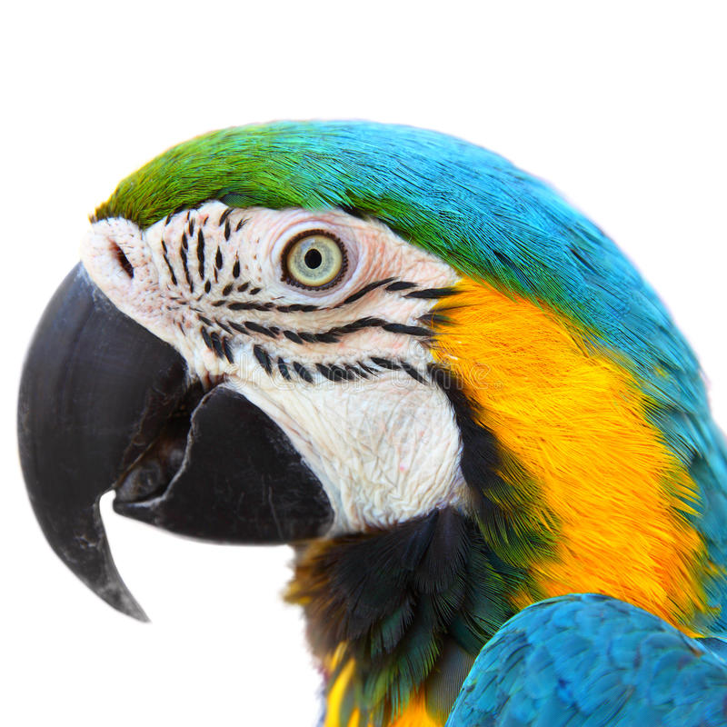 Parrot Macaw close-up. Head of Parrot Macaw close-up isolated on white background royalty free stock photography