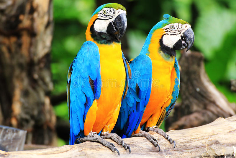 Parrot macaw couple. Colorful couple macaw sitting in a tree stock images