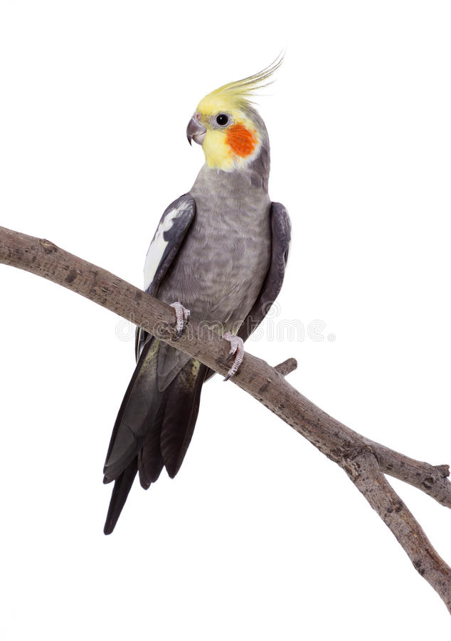 Parrot on the perch royalty free stock photo