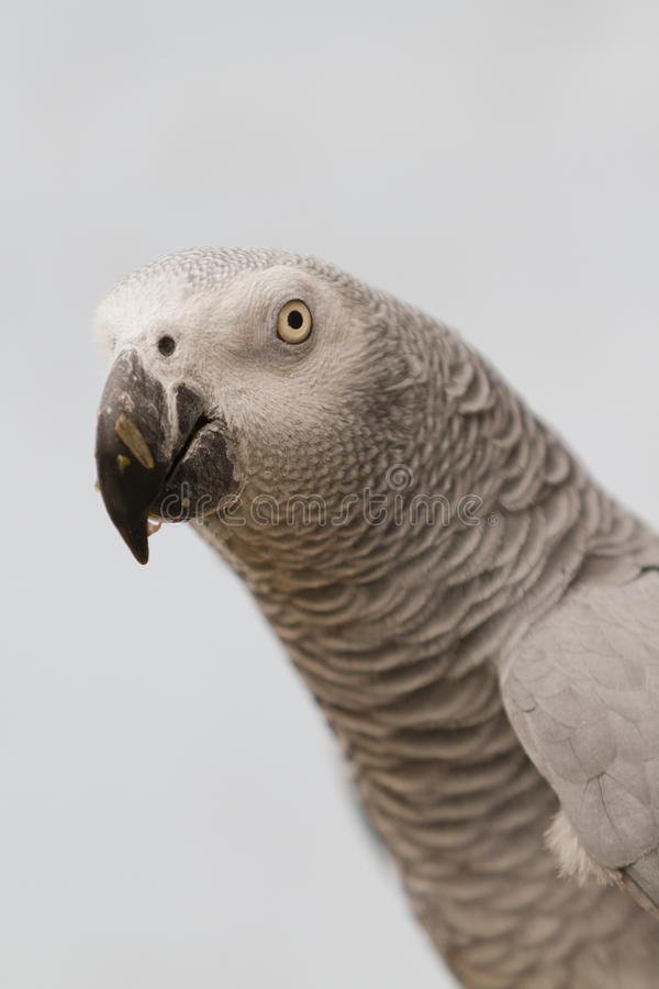 Parrot on perch royalty free stock photos