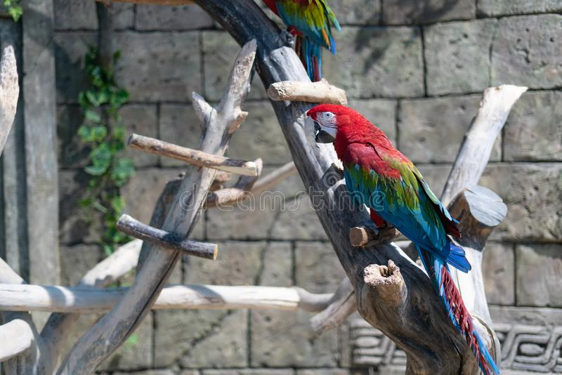 Parrot on perch royalty free stock photography