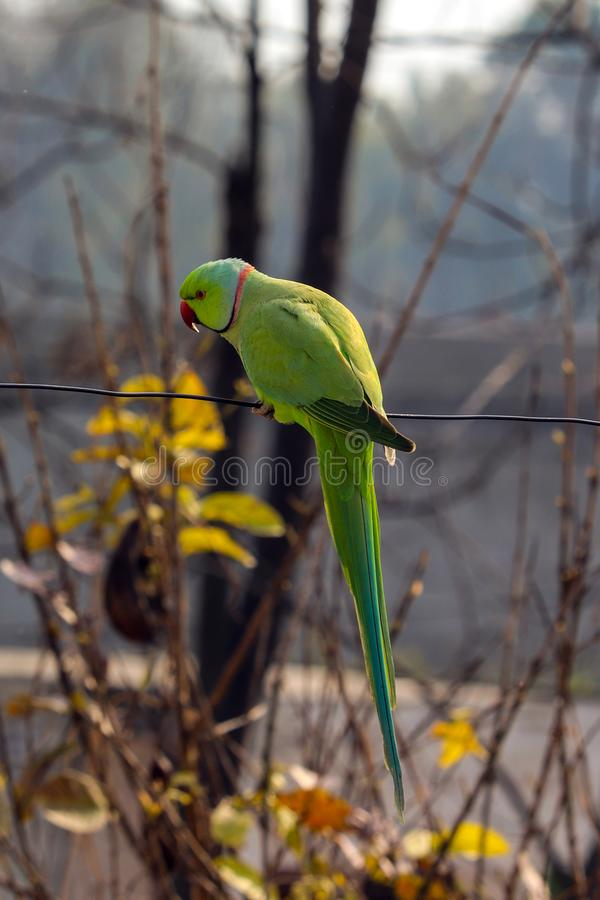 A Parrot playing on a Wire stock photos