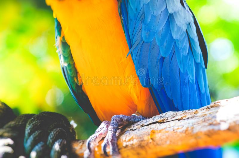 Parrot plumage details closeup feathers of the blue and yellow macaw ara ararauna royalty free stock photo