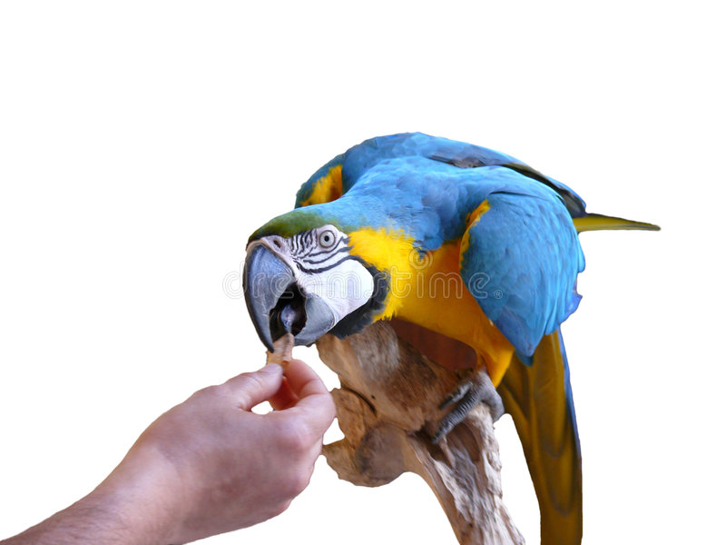 Parrot qui mange de la main images stock