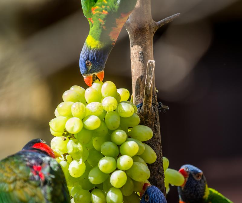 Parrot Rainbow lorikeet. Beautiful Parrot Rainbow lorikeet eating Trichoglossus moluccanus. Wildlife animal royalty free stock photo
