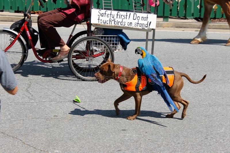 A parrot riding a dog in a parade royalty free stock images