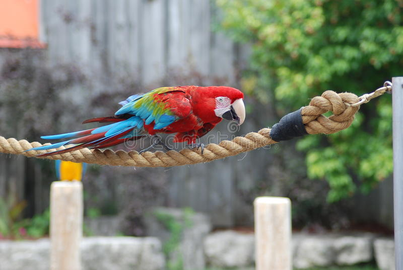 Parrot on the rope royalty free stock image