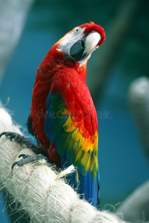 Parrot on a rope. The image ara on a rope