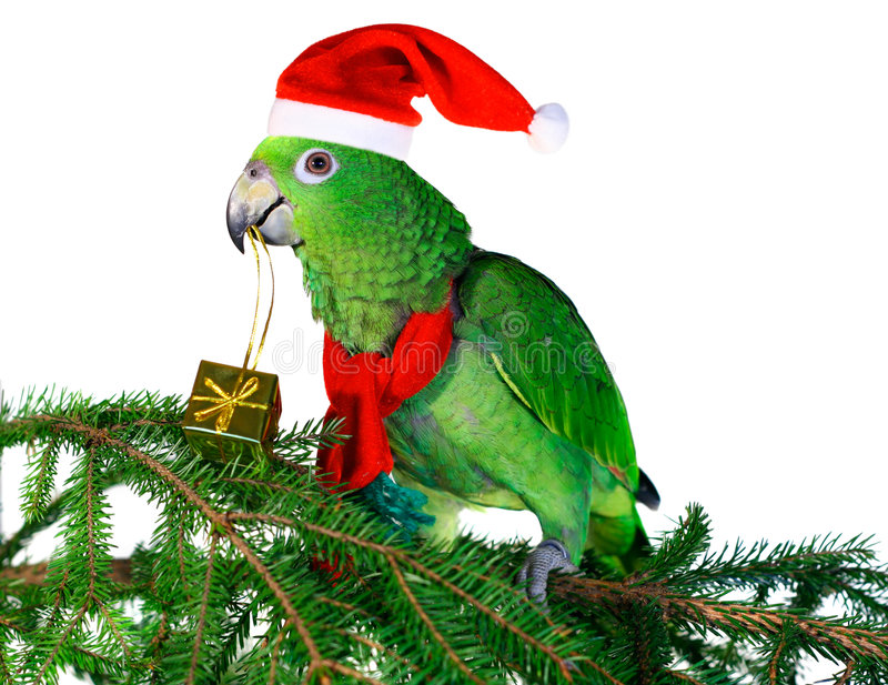 Parrot Santa 2. Green amazon parrot holding a golden gift package. Excelent motive for a funny Christmas card