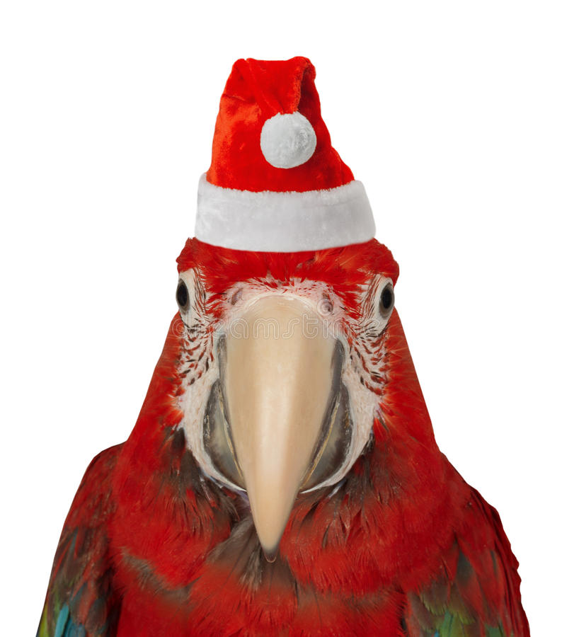 Parrot in Santa Claus hat royalty free stock photography