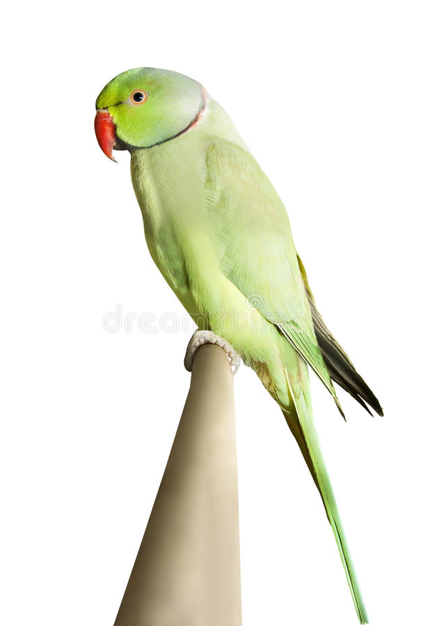 Parrot sitting on a branch isolated over white. Green parrot sitting on a branch isolated over white stock images
