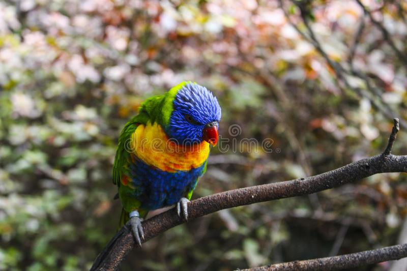 Parrot sitting on the branch Tenerife Summer Exotic Colourful stock images