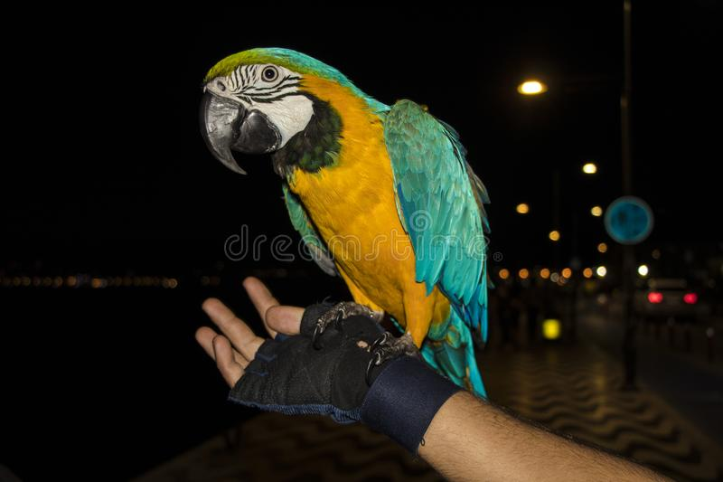 Parrot sitting on guys hand royalty free stock photos
