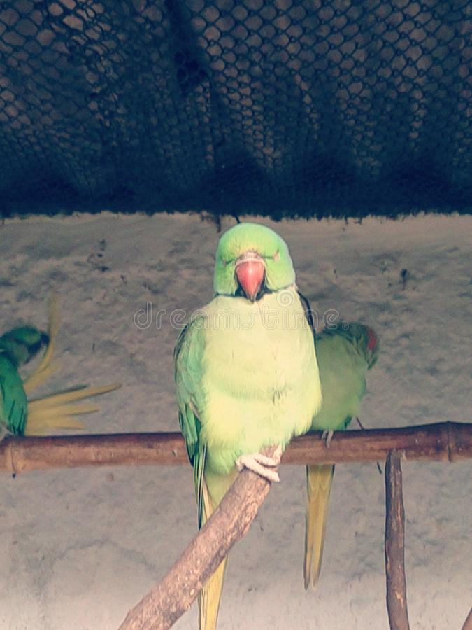 Sleeping parrot in zoo royalty free stock photo