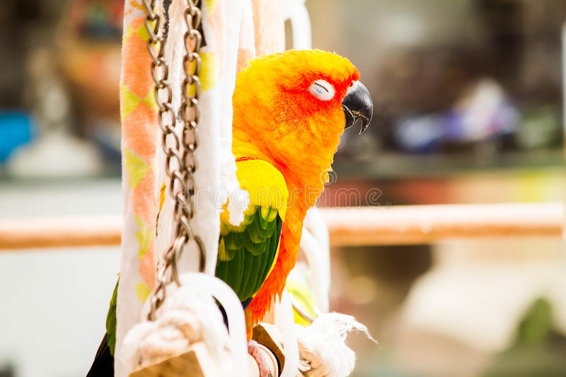 Parrot sleeping on the perch in the house royalty free stock photos