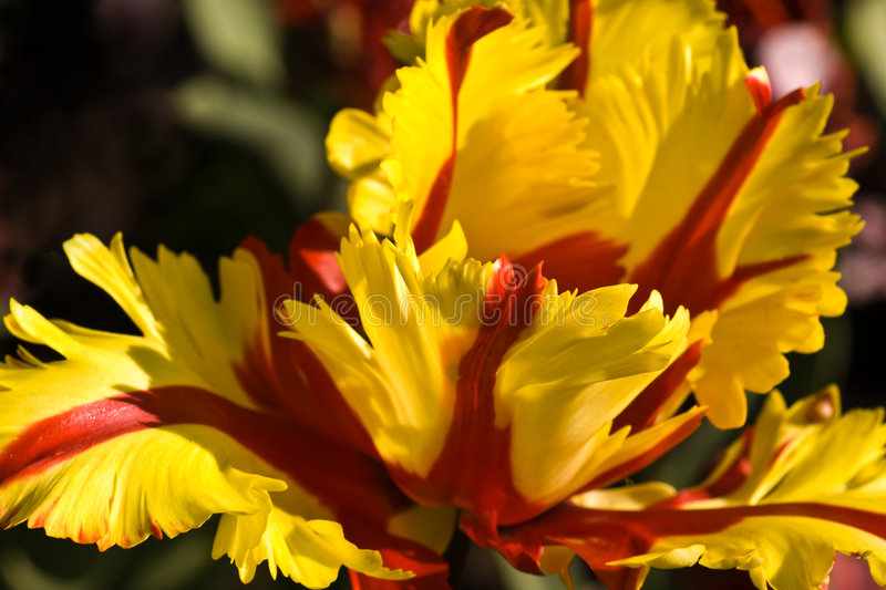 Parrot tulip. Bizar red and yellow tulip like a parrot stock photo