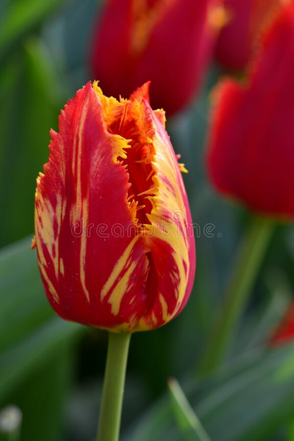 Free Parrot Tulip In Red With Yellow Spots And Fringed Flower. Stock Images - 178566034