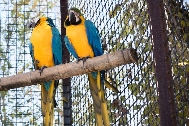 Parrot. Two parrots in a zoo cage, macaw, nature, colorful, bird, wildlife, animal, tropical, scarlet, beautiful, red, blue, amazon, jungle, feather, ara, cute stock image