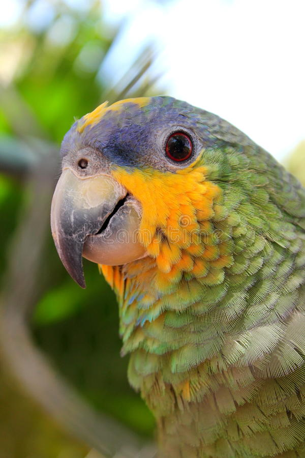 Parrot portrait from venezuela. Green parrot from venezuela royalty free stock photo