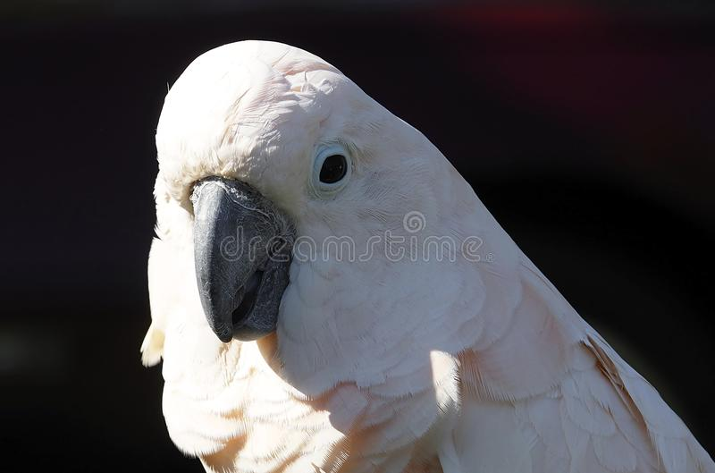 Parrot With White plumage. Against a dark background royalty free stock image
