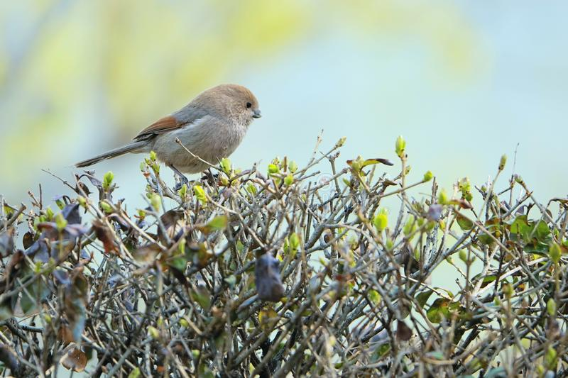 Parrotbill Vinicole-throated image stock