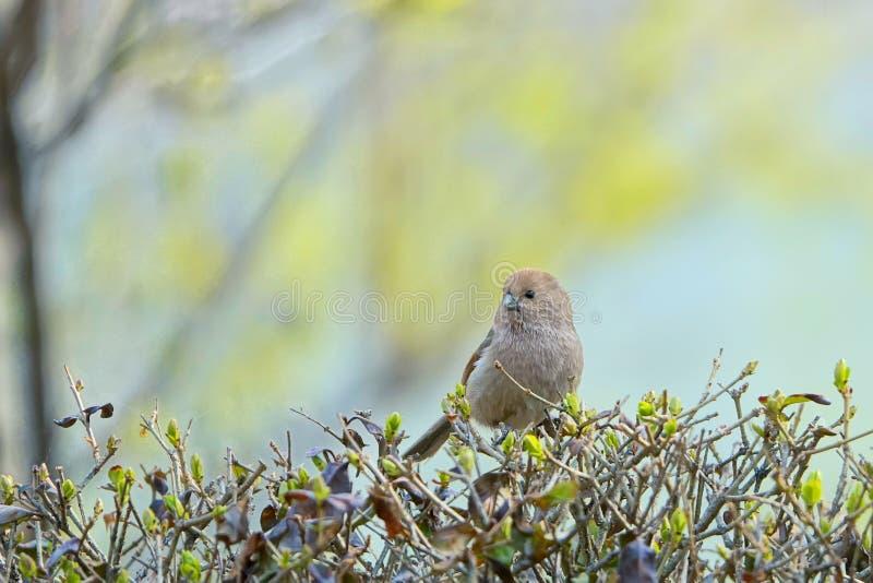 Parrotbill Vinicole-throated photo stock