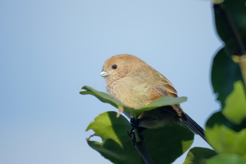 Parrotbill Vinicole-throated images libres de droits