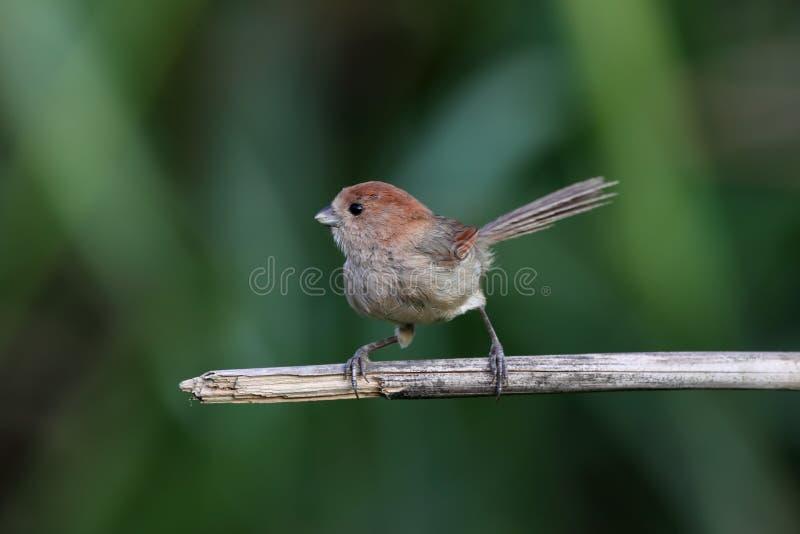 Parrotbill Vinicole-throated, webbiana de Paradoxornis photographie stock