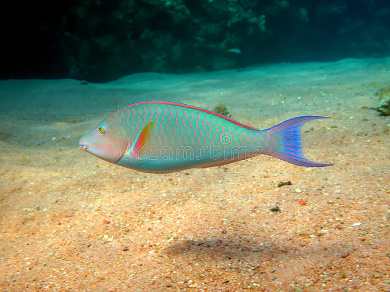Parrotfish fotografia royalty free