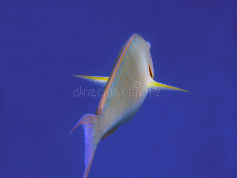 Parrotfish. Es are a subgroup from the Labridae family found in relatively shallow tropical and subtropical oceans throughout the world, but with the largest royalty free stock photography
