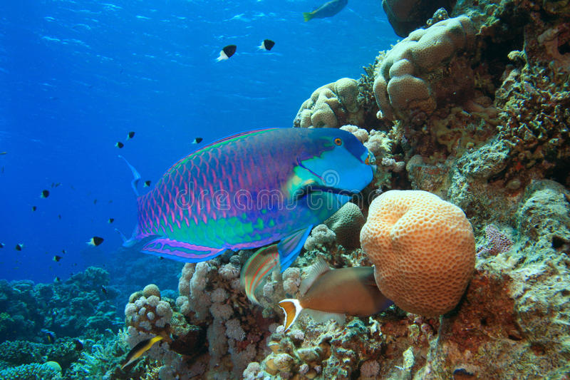 Download Parrotfish stock image. Image of wrasse, soft, water - 13617759