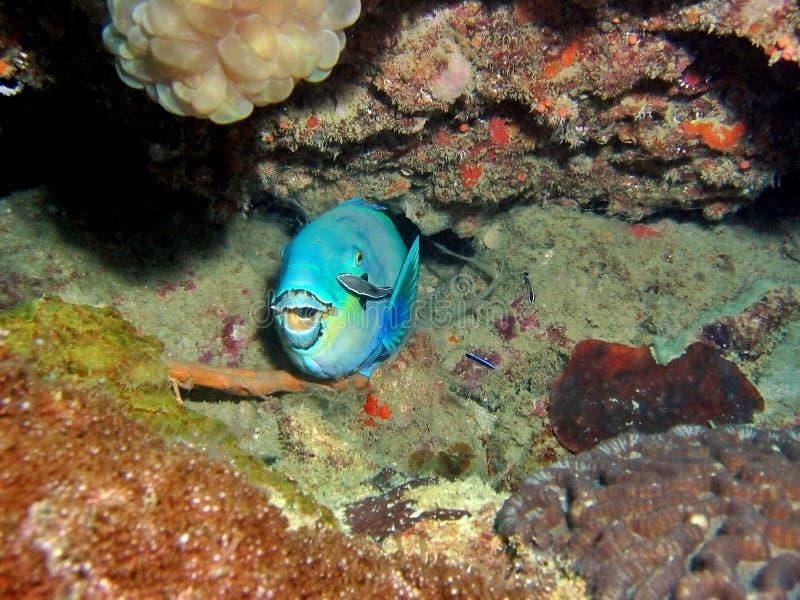 parrotfish obraz stock
