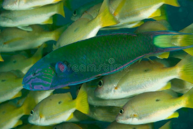 parrotfish zdjęcia stock