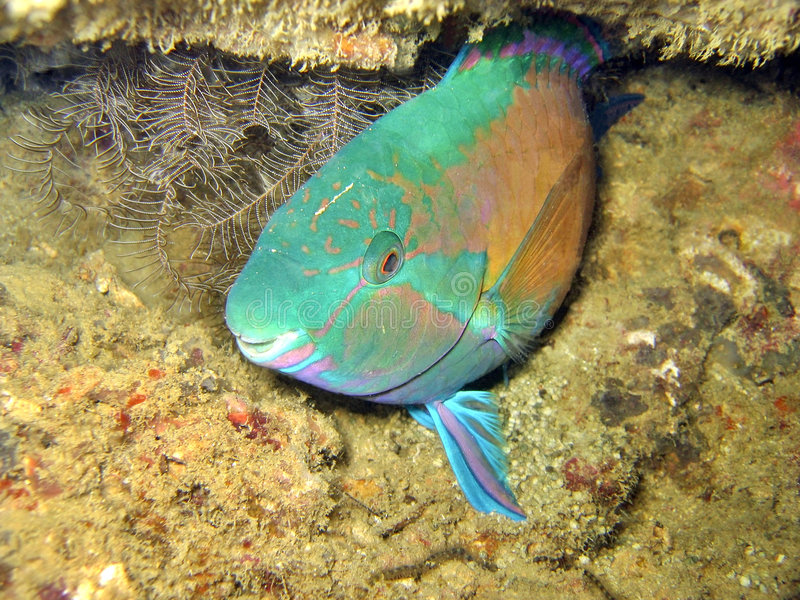 Parrotfish foto de stock royalty free