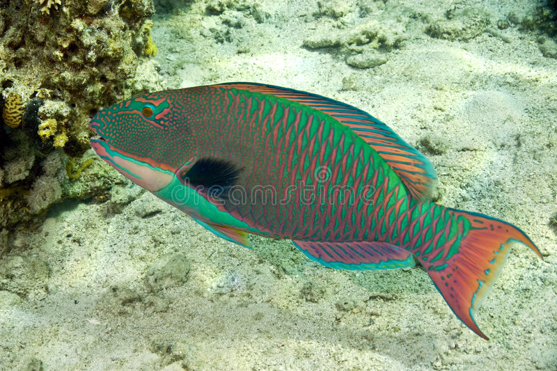 parrotfish obrazy stock