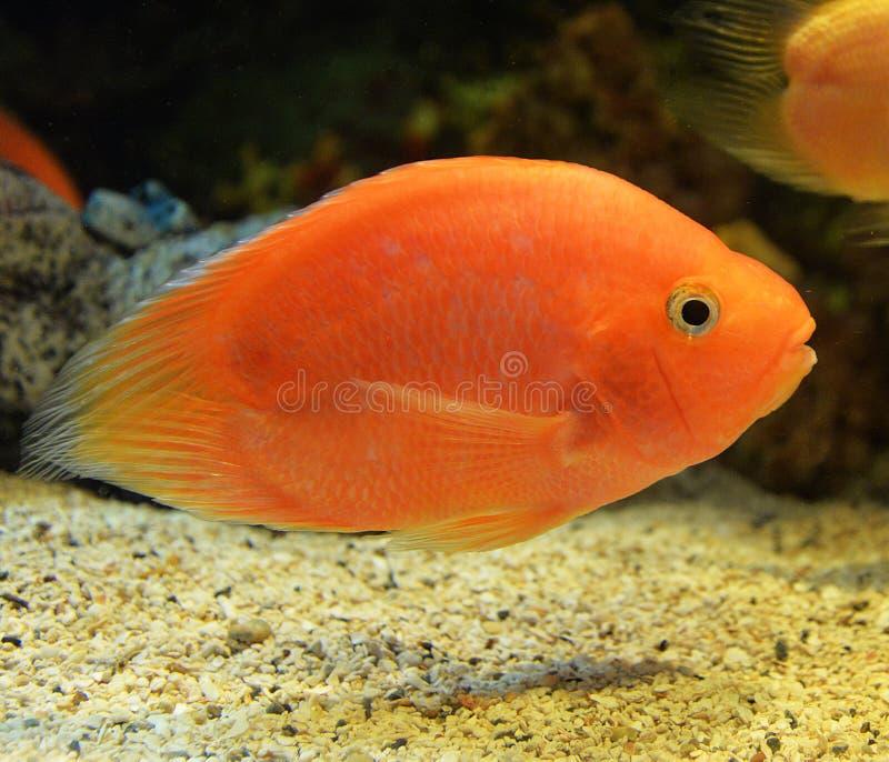 Parrotfish royaltyfria foton