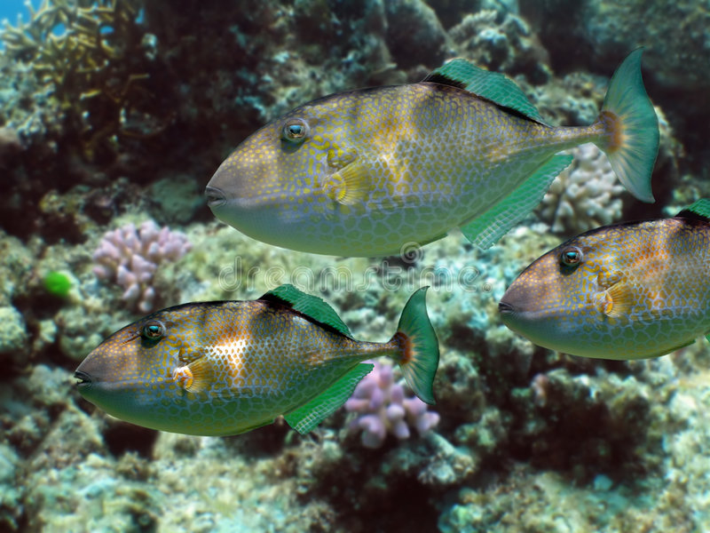 Download Parrotfish stock photo. Image of coral, triggerfish, fish - 607622